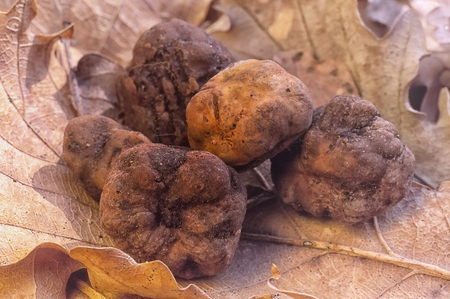truffe blanche: truffe blanche (Tuber magnatum) dans la forêt de chênes Banque d'images