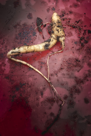 attributed: The true Mandrake root (Mandragora officinarum), In this plant are attributed magical powers