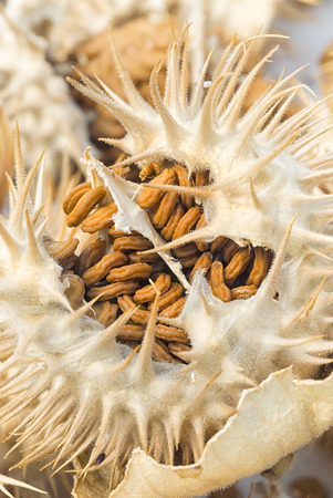 hallucinogen: Thorn apple (Datura inoxia), fruit and seeds, clouse up