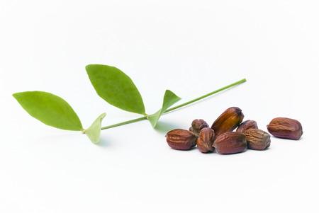 호호바 (Simmondsia chinensis) 잎과 가지에 고립 된 씨앗