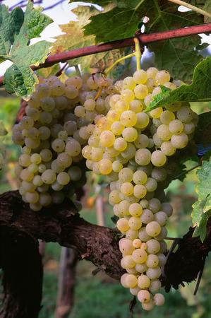 적합: Brunch of trebbiano grapes on the vine (Vitis vinifera), White grapes suitable for wine production 스톡 콘텐츠