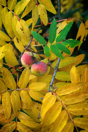Service tree (Sorbus domestica), mature fruits and leaves in autum, sorb