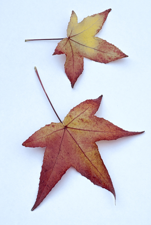 Autumn leaves of American Sweetgum (Liquidambar styraciflua), color of autumn