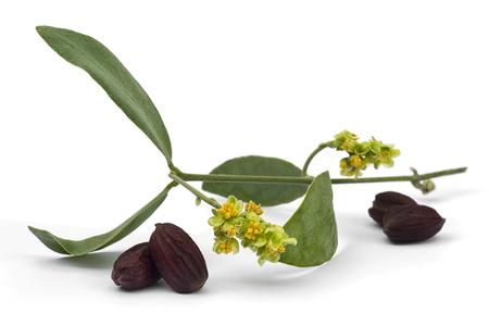 Jojoba (Simmondsia chinensis) bloem, bladeren en zaden geïsoleerd op withe beckground