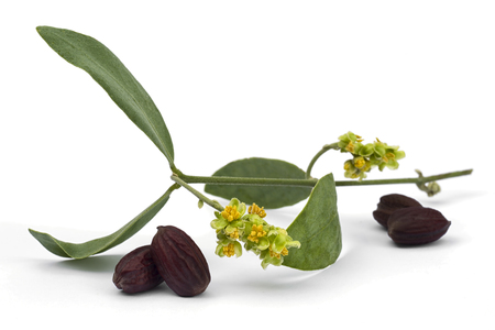 Jojoba (Simmondsia chinensis) flower, leaves and seeds isolated on withe beckground Imagens