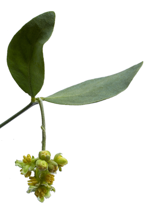 Jojoba (Simmondsia chinensis) leaves and flower isolated on withe beckground Stock fotó