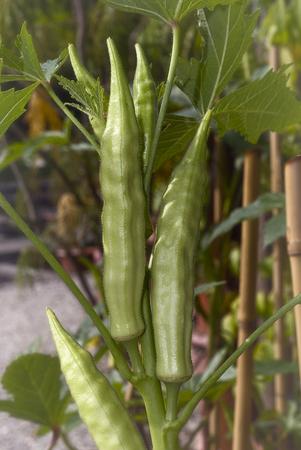 Fresh okra (Abelmoschus esculentus); vegetable ready to be harvested Stock fotó