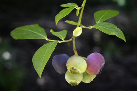 blueberry branch (Vaccinium corymbosum), northern highbush blueberry also known as blue huckleberry is the blueberry commonly grown in America and now known throughout the world Stock fotó