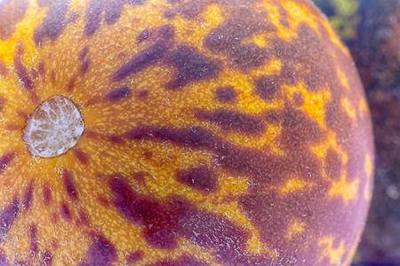 Tigger Melon (Cucumis melo Queen Annes Pocket), ornamental exotic cucumber