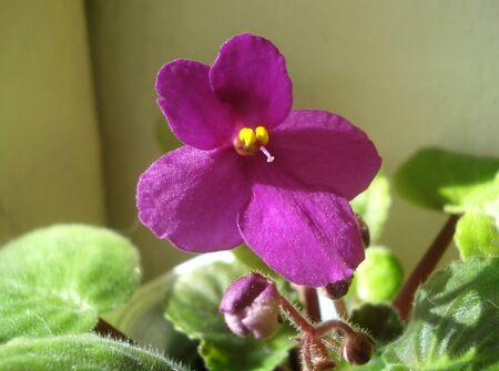 Photo of violets. purple Saintpaulia