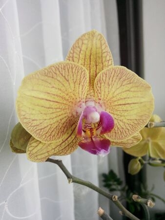 Delicate cream-colored orchid flowers with a pink middle. tropical flowers in home 스톡 콘텐츠