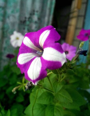 Bright two-color lilac-white flowers of Petunia grows on a balcony. home flowers Standard-Bild