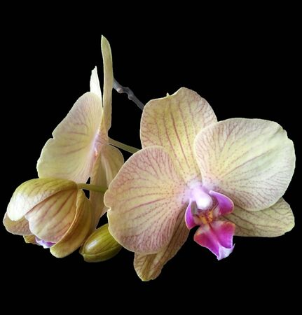Delicate cream-colored orchid flowers with a pink middle on black background. Isolated flowers. Tropical flowers