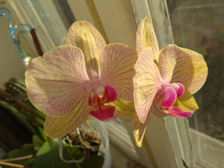 Delicate cream-colored orchid flowers with a pink middle in the sun