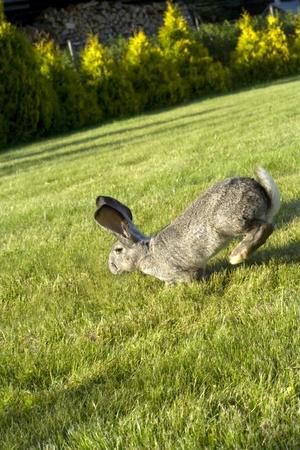 Coniglio salto sull'erba