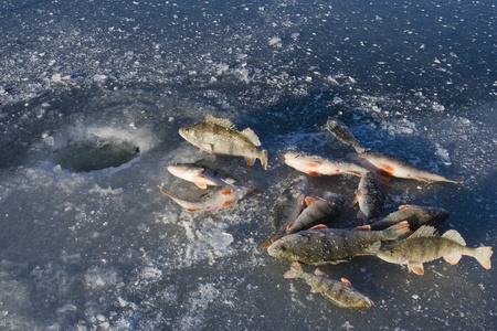 Caught fish on ice