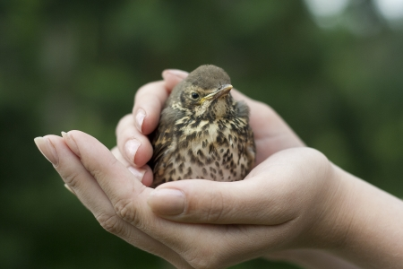 Baby fieldfare bird sitting on hands photo