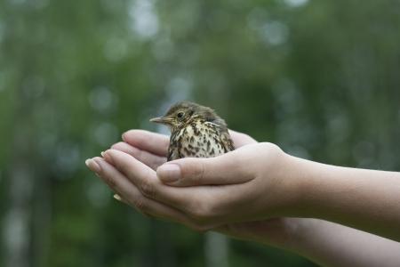 Baby Cesena uccello seduto sulle mani Archivio Fotografico