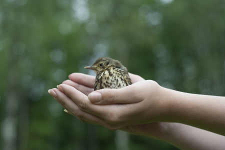 Baby fieldfare bird sitting on hands