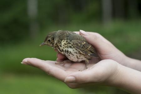 Baby fieldfare bird sitting on hands