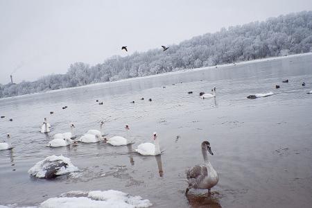 Cigni sul fiume nella giornata invernale Archivio Fotografico