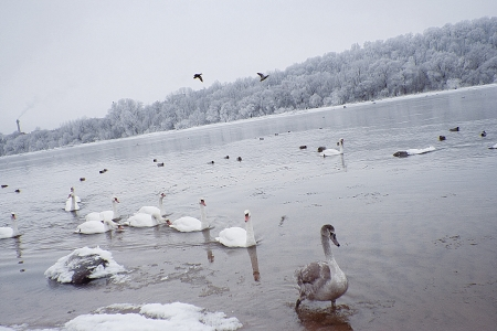 Swans on the river in the winter day Stock Photo