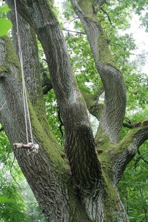 Vecchia quercia