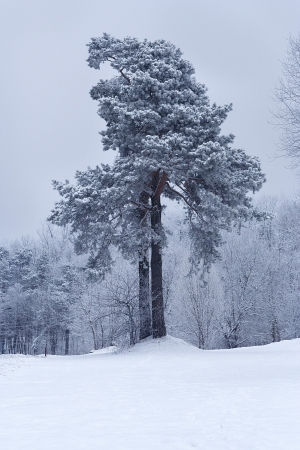 Pine tree covered with snow in frosty day