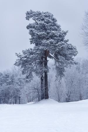 Pino coperto di neve nel gelido giorno Archivio Fotografico
