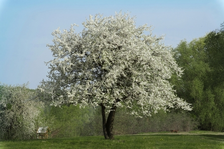 Blossoming plum tree