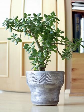 jade plant: jade plant
