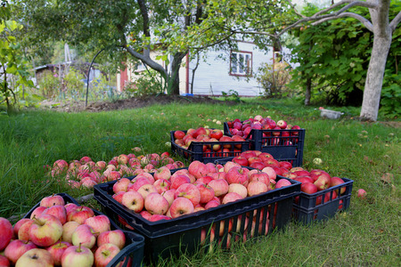 cassa piena di mele