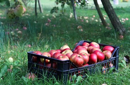 box full of apples Stock Photo
