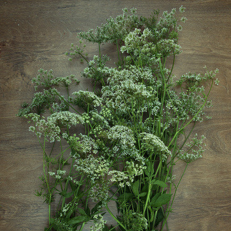 milfoil: Wildflowers on wooden background.  Bouquets of yarrows on wooden surface. Achillea.