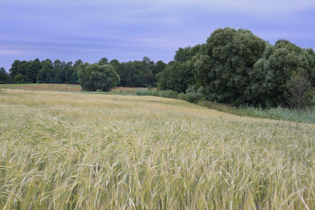 Field of barely. Agriculture landscape in summer. Stock Photo