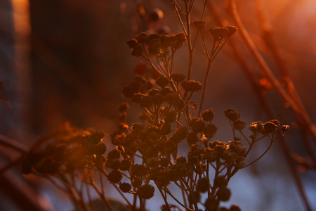 Dry grass in beautiful pastel sunlight in evening. Abstract naturebackground with withered flowers in winter. Stock Photo