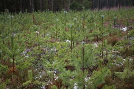 Fresh pine seedlings. Young pines growing in winter.