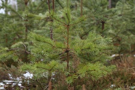 Young pine growing in winter. Fresh pine seedlings.