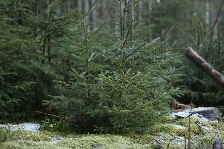 Fresh spruce seedlings. Young spruces growing in winter.