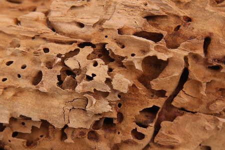 Wood background. Nature beauty. Carpenter ants excavated galleries in wood. Stock fotó