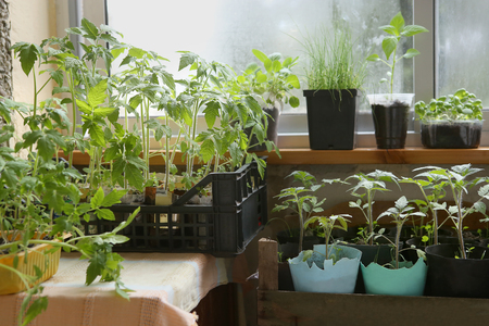 Spring seedlings: tomatoes, pepper, cabbages, basil and leeks. Vegetable seedlings in pots on windowsill.