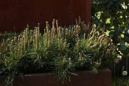 mugo: Decorative mountain pine. Pinus mugo, dwarf cultivar pine, outdoor design. Stock Photo