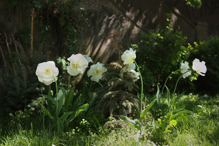 Tulips Mount Tacoma. White flowers blooming in city garden.