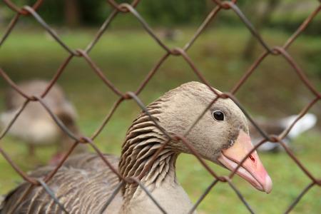 Goose behind the fence. Wild bird greylag goose in captivity.