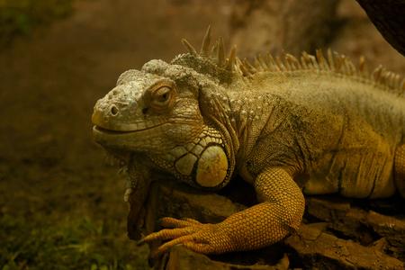 Green iguana in terrarium in Kaunas Zoo.