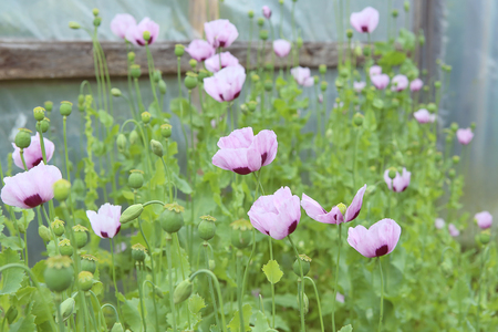 poppy blooming and poppy heads in garden purple poppies blossom