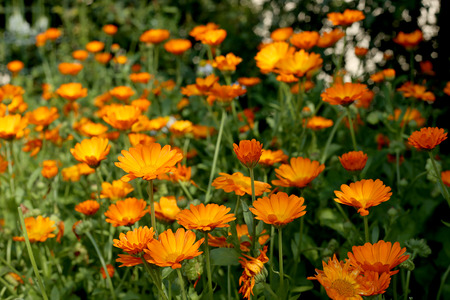 Calendula flowers in garden. Garden flower herbs blooming in summer. Zdjęcie Seryjne