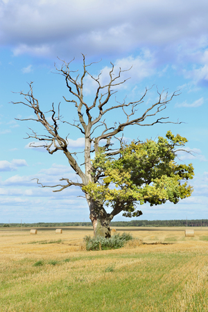 Old oak with green and dry branches. Alone big tree in farm field.