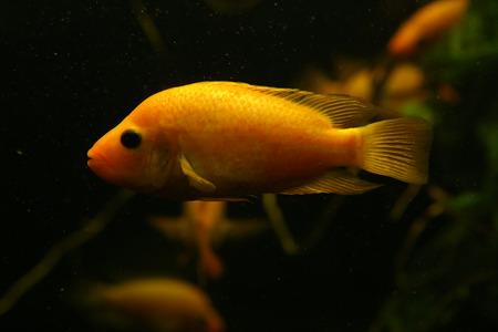 aquarium hobby: Orange tropical aquarium fish swimming.