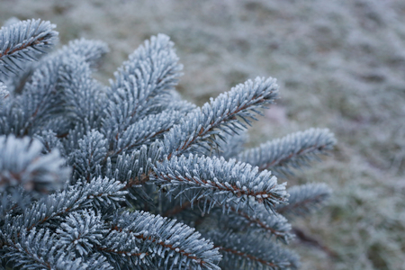 Hoarfrost on blue spruce branches. First frost covered spruce, Picea pungens.